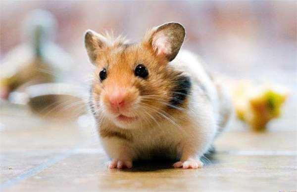 看到老鼠就被恐惧支配?科学家则通过AI识别出了它的情绪